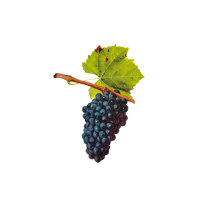 cépage gamay